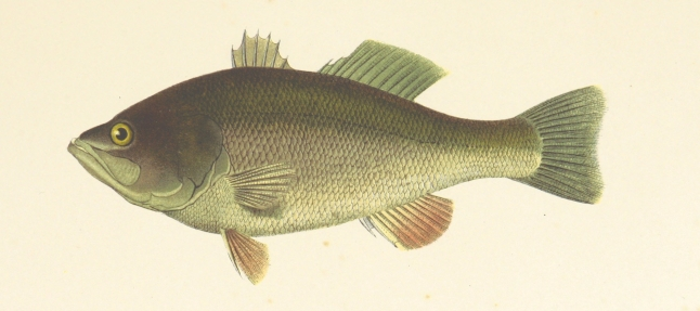 דג מהבריטיש ליבררי פליקר